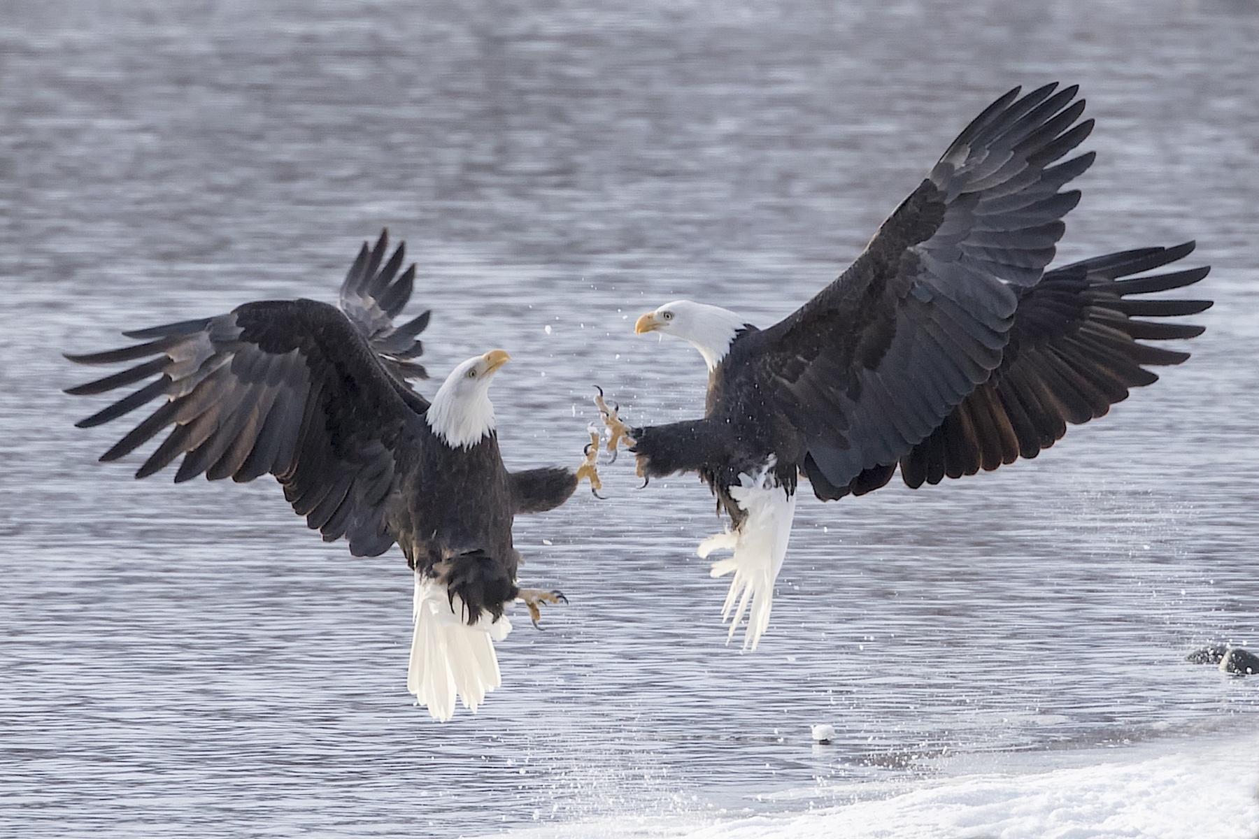 Bald Eagles Fighting on the Chilkat River, Alaska - Clarence Luckett